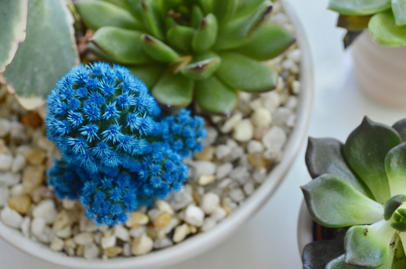 Succulents: The Plants for All of Us Without a Green Thumb